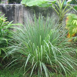 lemon-grass-citronella