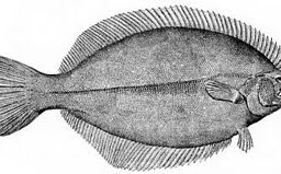 flatfish-flounder-and-sole-species